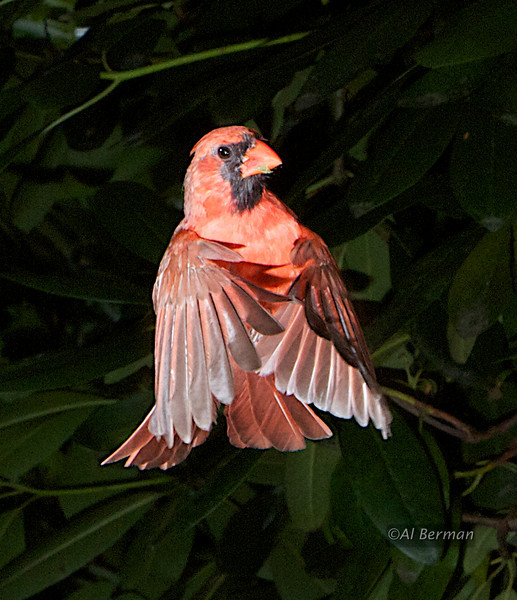 Northern Cardinal in flight.