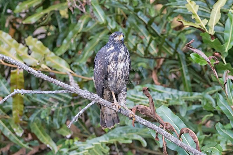 Black-Hawk, Common (Mangrove)  DSC_6626