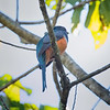 Trogon, Orange-bellied  D41_4643