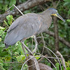 Tiger-Heron, Bare-throated -9822