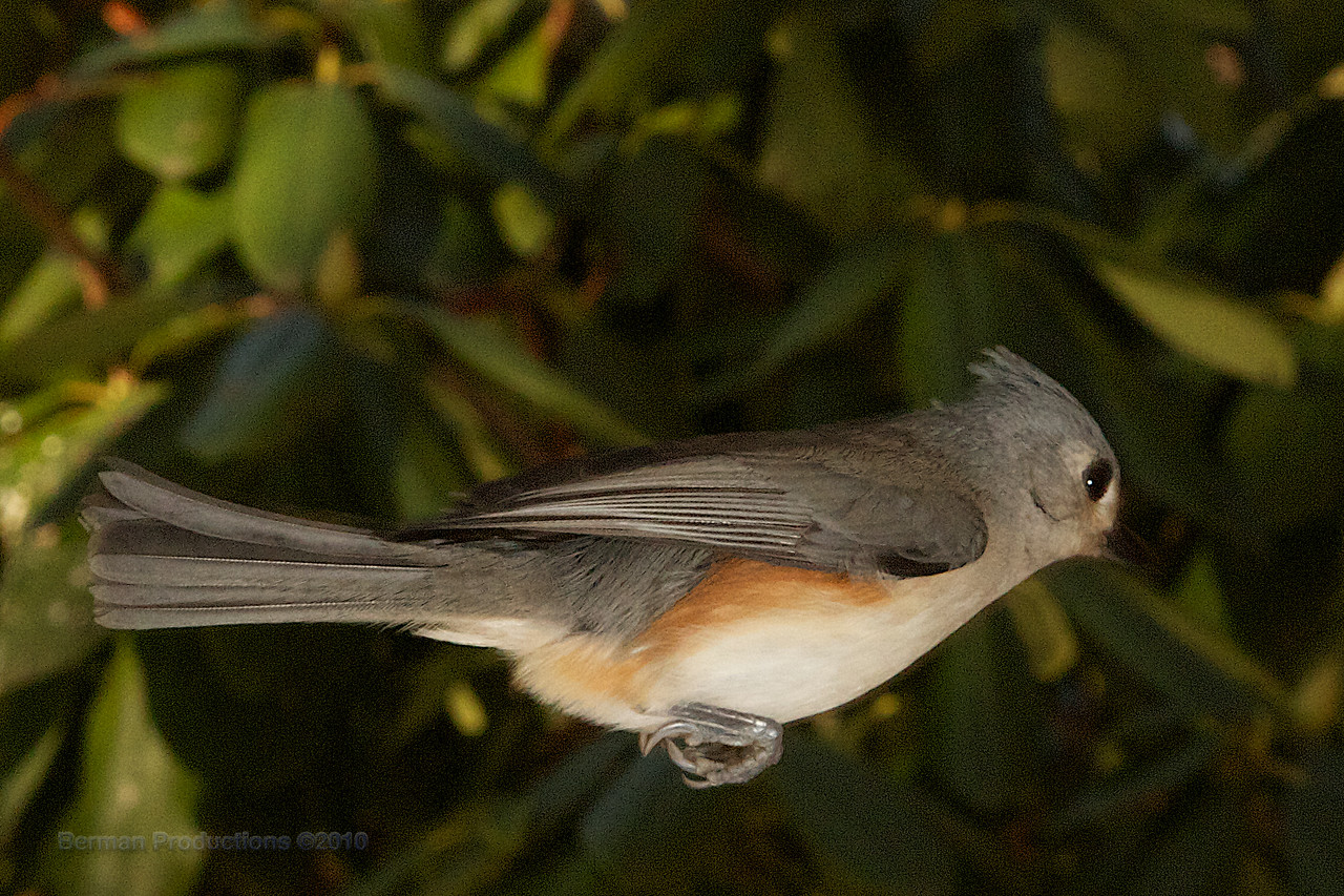 Tufted titmouse coming in for a landing