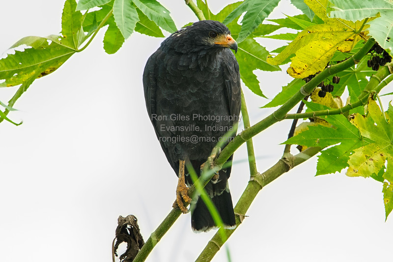 Black-Hawk, Mangrove -9221