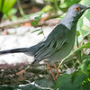 Thrush, Red-legged -D41_8847