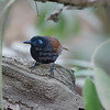 Antbird, Chestnut-backed  N60_9702