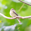 Flycatcher, Yellow-bellied  N60_9264