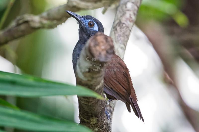 Antbird, Chestnut-backed -3021