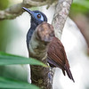 Antbird, Chestnut-backed -3021