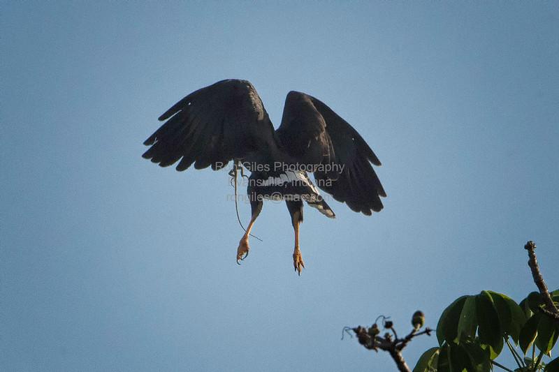 Black-Hawk, Common -3212