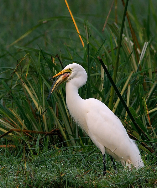 An Intermediate Egret trying to swallow a big fish.