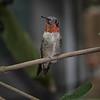 Hummingbird, Ruby-throated D41_6781