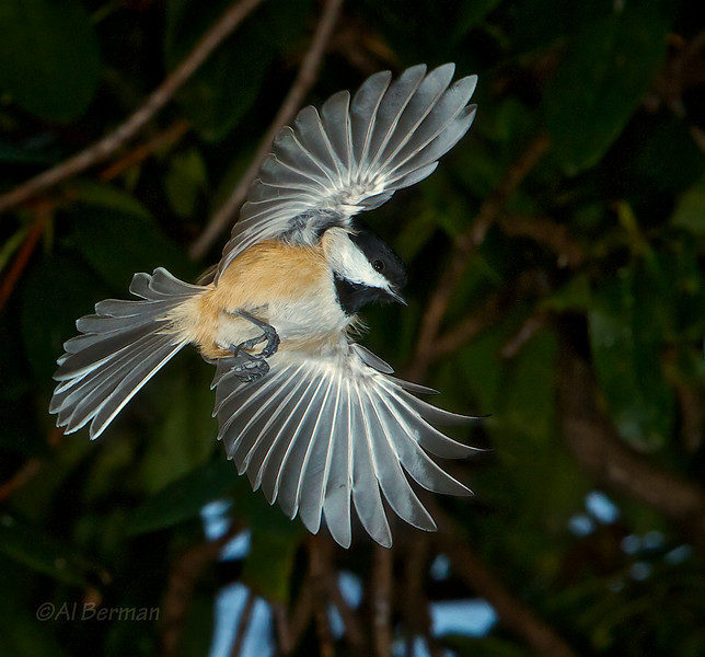 Chickadee in flight