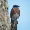 Bluebird, Eastern -5127