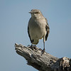 Mockingbird, Northern -D41_9237