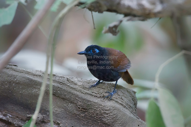 Antbird, Chestnut-backed  N60_9697