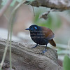 Antbird, Chestnut-backed  N60_9697