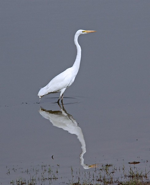 Intermediate Egret Reflection in Water
