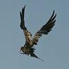 Frigatebird, Magnificent  DSC_6558