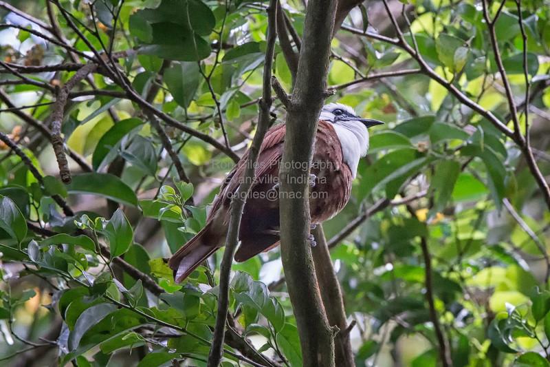 Bellbird, Three-wattled  D41_4259