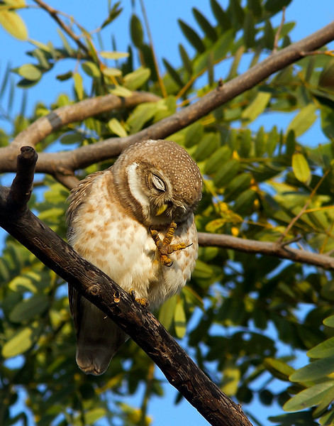 Spotted owlet with feet up.