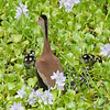 Whistling-Duck, Black-bellied   (with babies) -7046