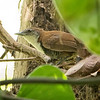 Wren, Black-bellied -2563
