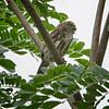 Pygmy-Owl, Ferruginous -0006