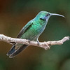 Hummingbird, Green Violet-ear -6532