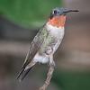 Hummingbird, Ruby-throated D41_6896