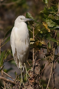 Juvenile Little Blue Heron - no other Heron species changes from pure white as a juvenile to all dark as an adult