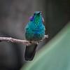 Hummingbird, Green Violet-ear -6522