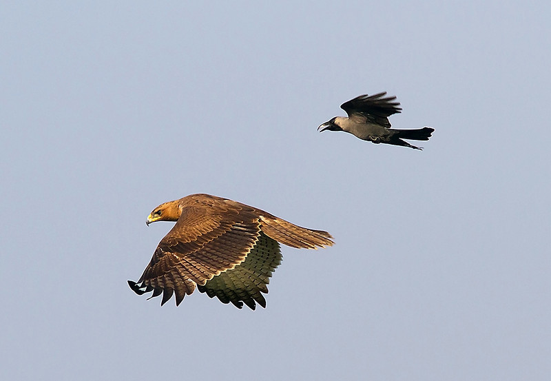 Bonelli's Eagle chased by a crow