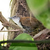 Wren, Black-bellied -2561