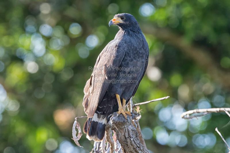 Black-Hawk, Common (Mangrove)  N60_1303