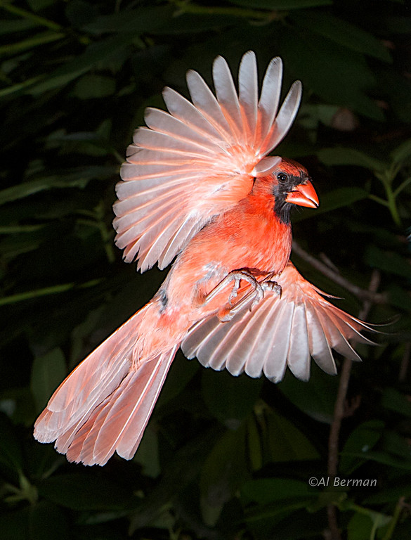 Northern Cardinal in flight.