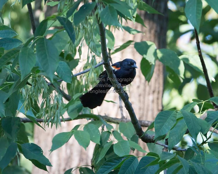 Blackbird, Red-winged D41_0091
