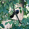 Blackbird, Red-winged D41_0091