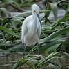 Egret, Snowy -9260
