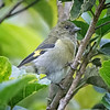 Siskin, Yellow-bellied (Female) -6778