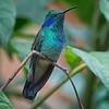 Hummingbird, Green Violet-ear -6862