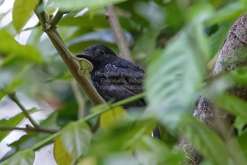 Antshrike, Black-hooded  N60_0466
