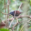 Antbird, Chestnut-backed D4L_2197
