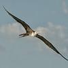 Frigatebird, Magnificent  DSC_6574