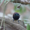 Antbird, Chestnut-backed  N60_9700
