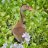 Whistling-Duck, Black-bellied   (with babies) -7048