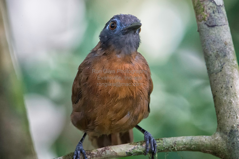 Antbird, Chestnut-backed (female) -3029