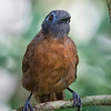 Antbird, Chestnut-backed (female) -3029