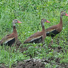 Whistling-Duck, Black-bellied -9854