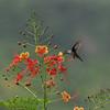 Hummingbird, Antillean Crested. Barbados 2011
