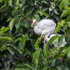 Great Egrets (youngsters)