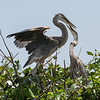 Great Blue Herons (parent and child)